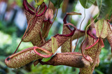 Carnivorous pitcher plant with pitchers poster
