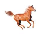 chestnut arab horse isolated on white