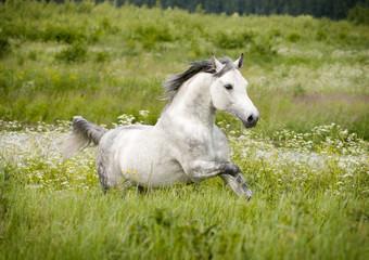 arab horse runs free