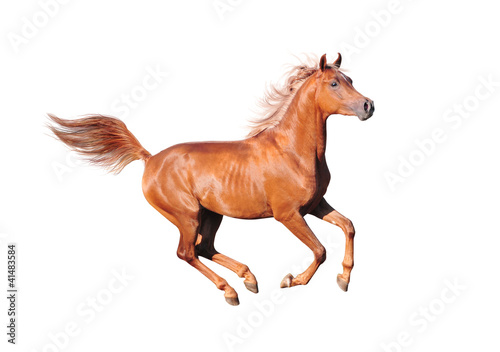 chestnut arab horse isolated on white