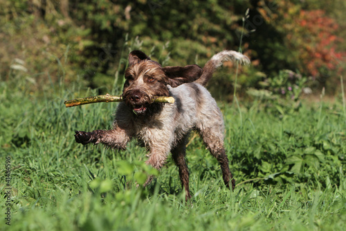 Fotobehang Dragen hunting dog playing with a piece of wood