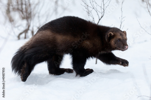 Wolverine in th snow