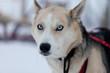 Husky dog with blue eyes