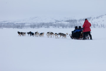 Husky dog sledding