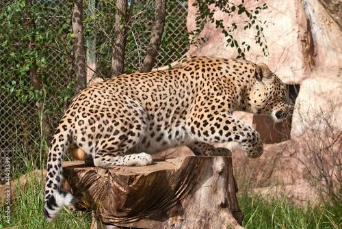 Leopard (Panthera Pardus) gets up