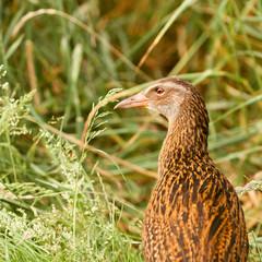 Endemic NZ bird Weka, Gallirallus australis