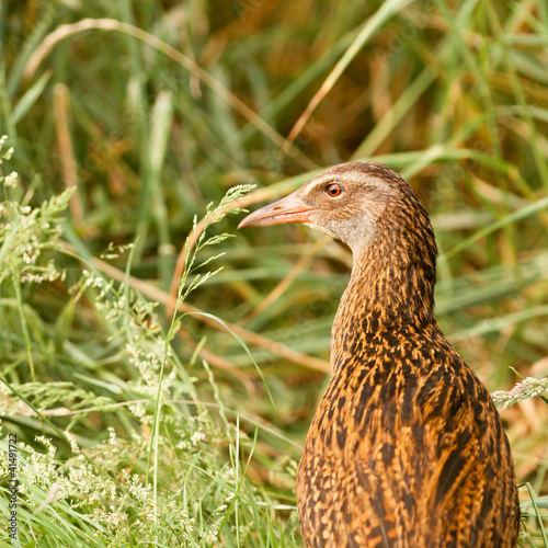 Endemic NZ bird Weka, Gallirallus australis