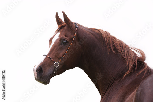 Close-up of a bay arabian horse