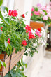 beauty geranium outdoor