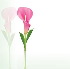 Beautiful pink calla lily