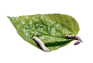 silkworm, silk