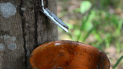 Close up latex of para rubber tree dropping into a cup