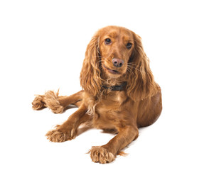 English cocker spaniel  on white background