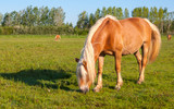 Grazing mare with long blonde manes poster