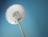 Close-up of a dandelion - 41512747