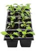 Seedlings of aster flowers