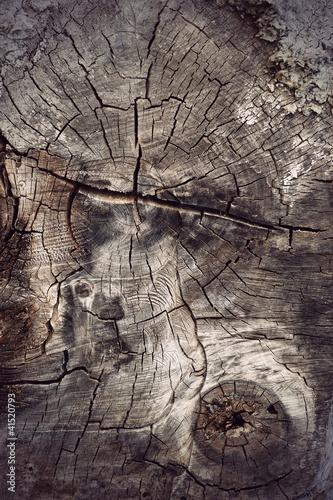 cross section of ancient hardwood tree