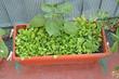 fresh green salad grown on a vegetable garden in a balcony