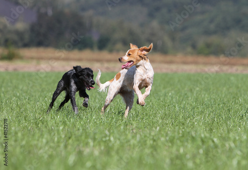 two dogs of breed britanny spaniel playing