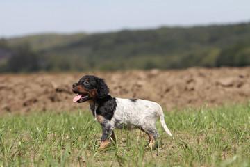 chiot épagneul breton debout de profil