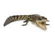 Australian saltwater crocodile, Crocodylus porosus, on white