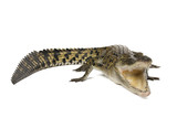 Australian saltwater crocodile, Crocodylus porosus, on white poster