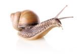 garden snail (Helix aspersa)