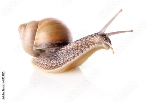 garden snail (Helix aspersa) - 41529110
