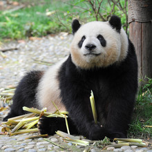 Adult giant panda bear