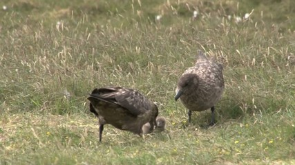 Great Skua with chick