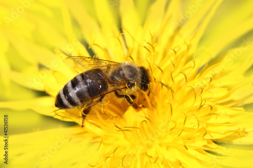 Foto op Plexiglas Bee Honeybee on yellow flower