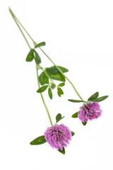 Rotklee (Trifolium pratense) liegend auf weißem Hintergrund