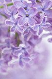 Fototapety Blooming lilac flowers