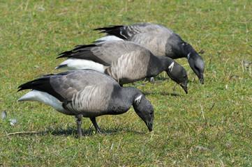 Brent Goose foraging together on farmland.
