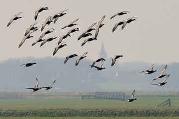 Brent Goose flying in front of small village.