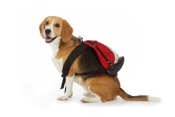 chien beagle avec cartable