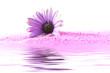 Kapkörbchenblüte