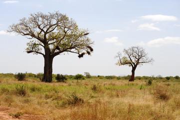 Baobab in African savanna