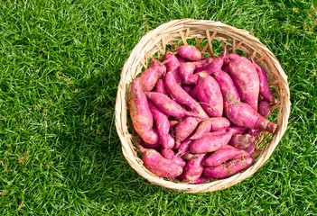 Red Sweet Potatoes gathered in Basket