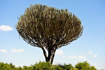 Cactus in African savanna