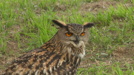 eagle owl close up 01