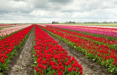 tulip fields in Schagen