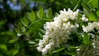 Flowers of a white acacia swaying on a wind.