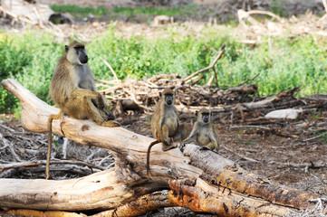 The baboon tree in in Lake Nakuru National Park - Kenya