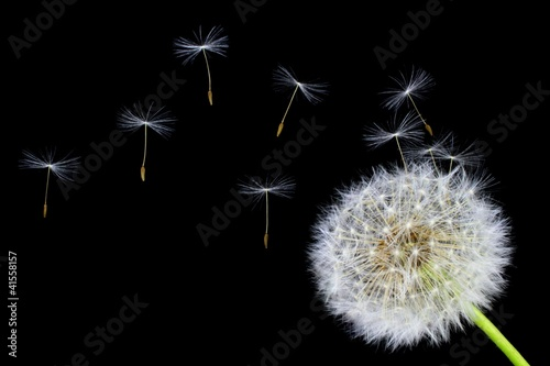 Fotobehang Paardebloem Dandelion flower and flying seeds on a black background