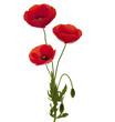 bouquet de trois coquelicots