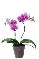 Orchid Plant in Pot