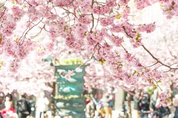 Sakura tree in full blossom
