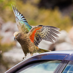 NZ alpine parrot Kea trying to vandalize a car