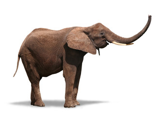 Joyful Elephant Isolated on White